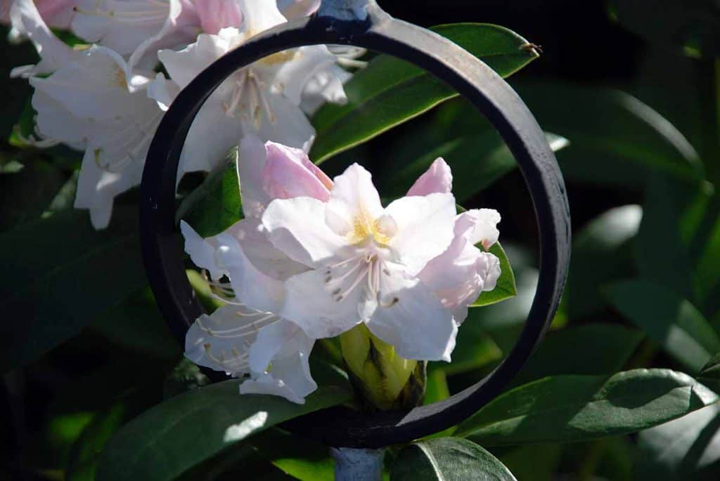 Oberloschwitz Rhododendron