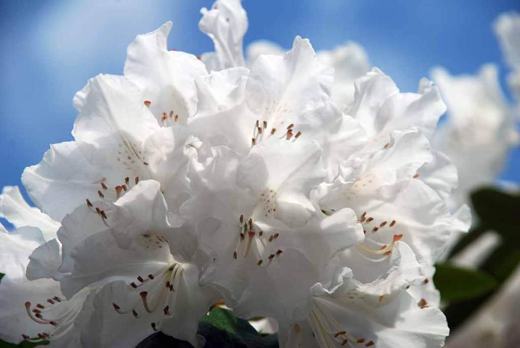 Wachwitz Rhododendron