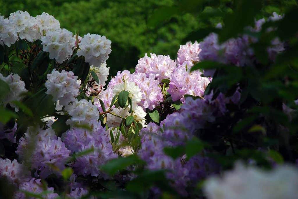 Wachwitz Rhododendronpark